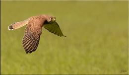 Female Kestrel in flight