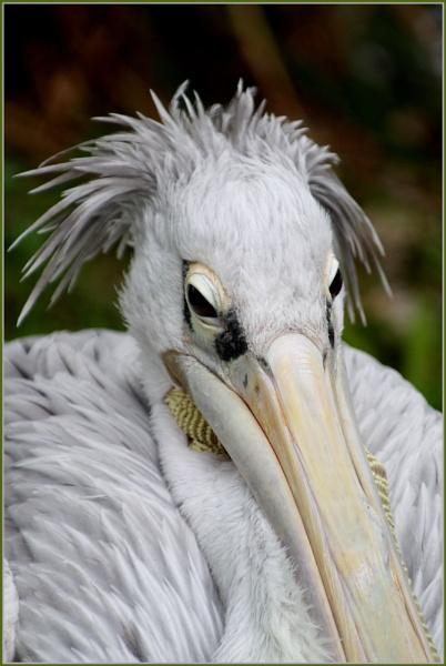 \'Punky\' Pelican by DeeWee