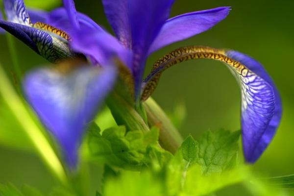 Blue Iris by EventHorizon