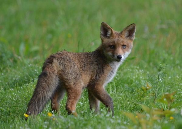 Fox Cub by JoshReptiles