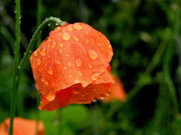 poppy in the rain by hughsey