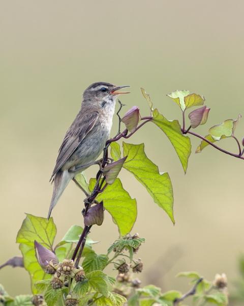 Sedge Warbler by hasslebladuk