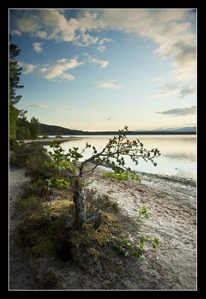 Bonsai Birch by almiles