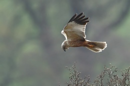Backlit Harrier
