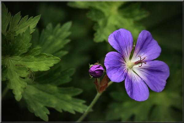 geranium (clarkei kashmir purple) by shifter46