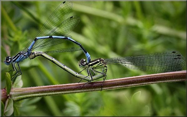Common Blue Damselfly (Enallagma cyathigerum) by shifter46