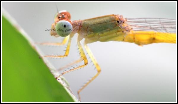 macro -dragonfly by Dureja