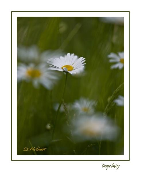 Oxeye Daisy by LizMutimer