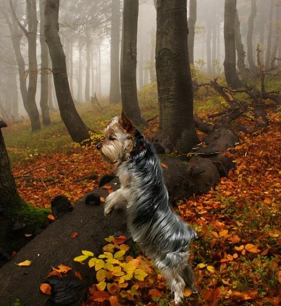 Yorkie On The Hunt by RickFreid