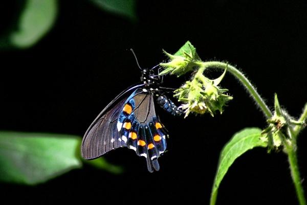 Black Swallowtail by RickFreid