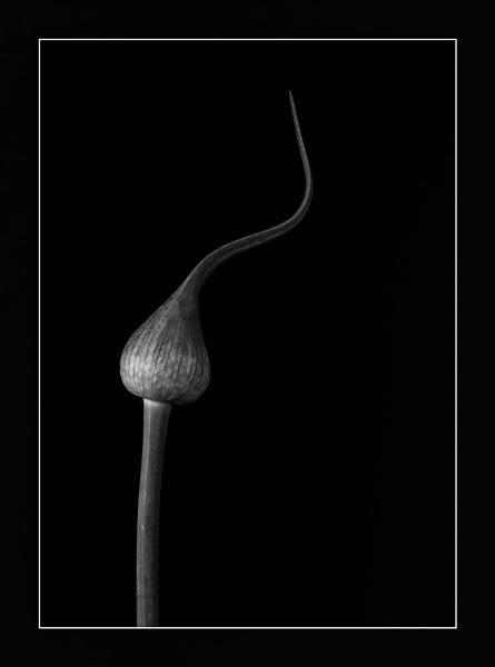 Leek flower bud by chavender