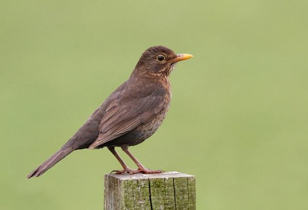 Blackbird by Metro6R4