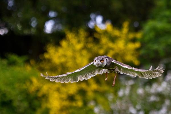 Shorteared Owl by darrenwilson41