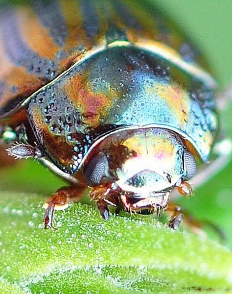 Beetle by eeffbee