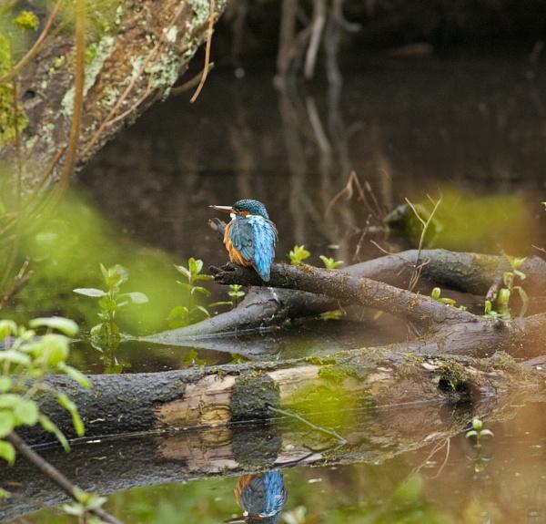 Kingfisher by hibbz