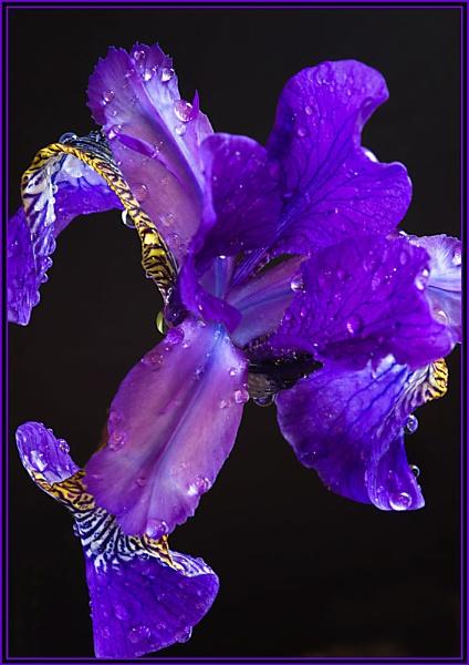 Iris with Raindrops II