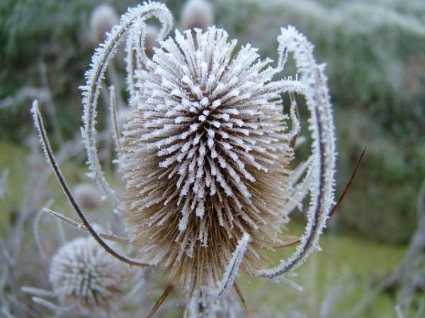 frosty teasle
