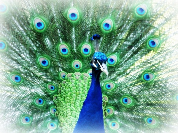 peacock by Digger13
