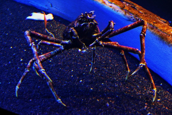 Spider Crab by Mbopp50