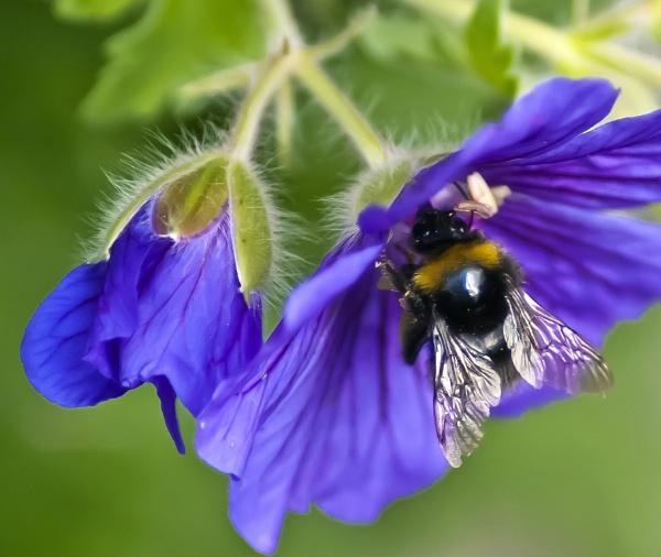 Busy Bee by photohog69