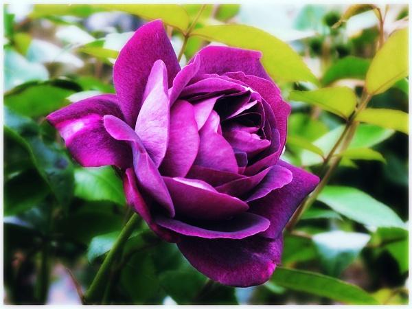 purple rose by paulmanneringphotos