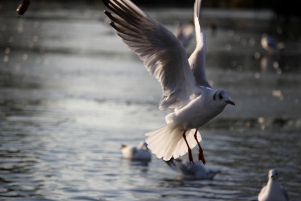 gull by Fatbaldhobbit