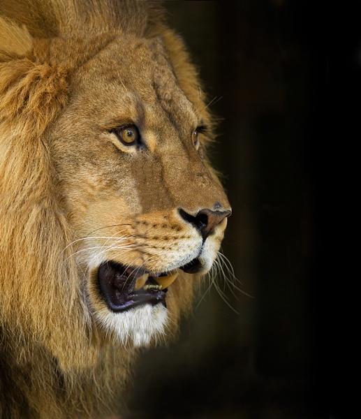 Lion by banehawi