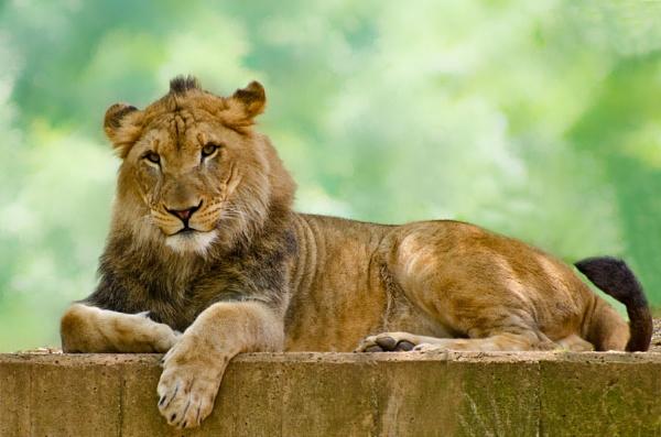 Lion, Lion, Lion by PeelNStick