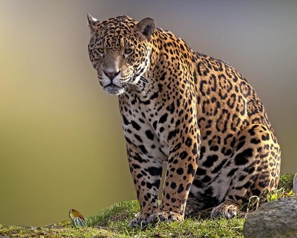 Jaguar by bppowell