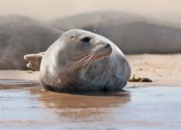 Seal Blakeney Point