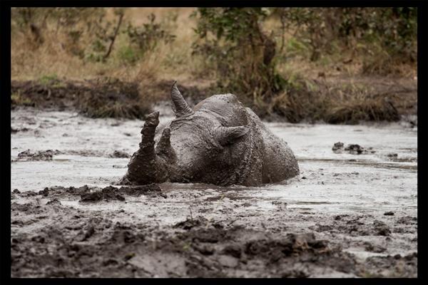 Wallowing Rhino by Kilcaff