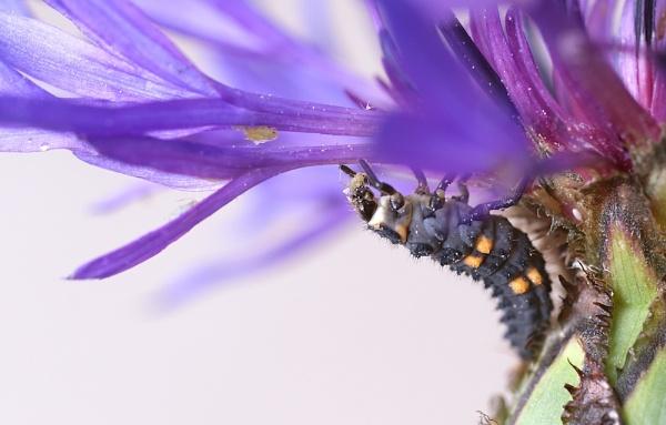 Ladybird Larvae by cattyal
