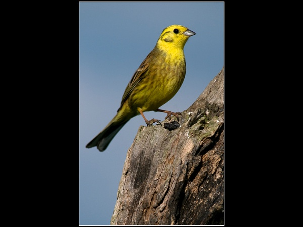 Male Yellowhammer by wharmby