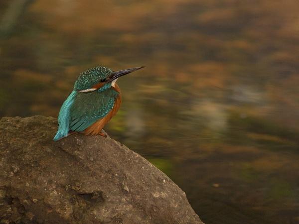 Kingfisher by skewey
