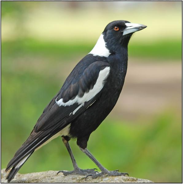 Australian Magpie by goso