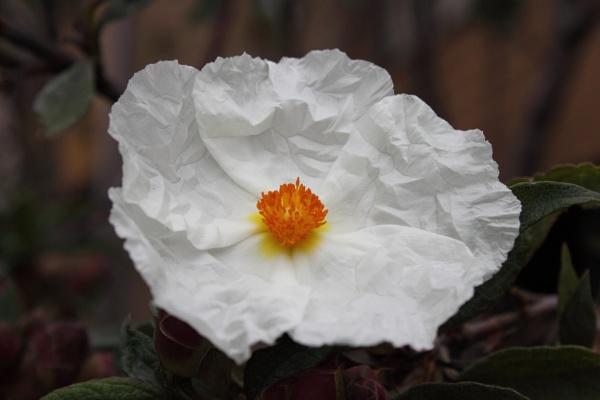 White flower by paulvo