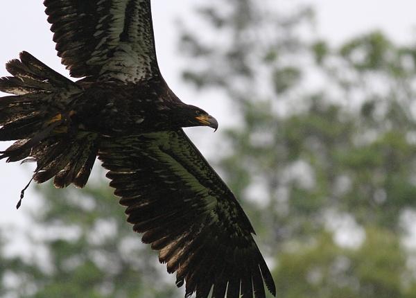 Juvenile Bald Eagle by lawbert