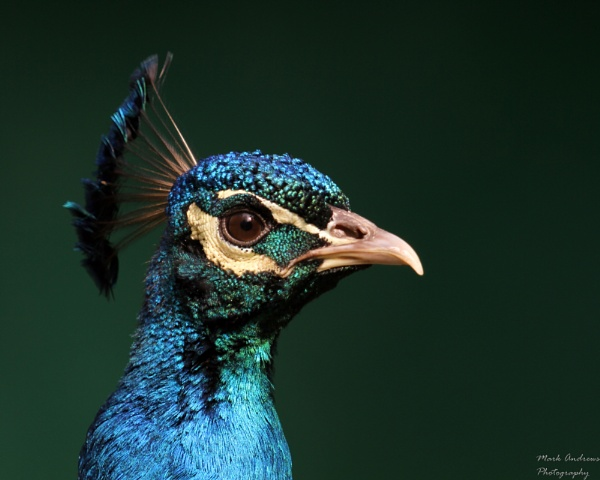 Peacock by mark1309