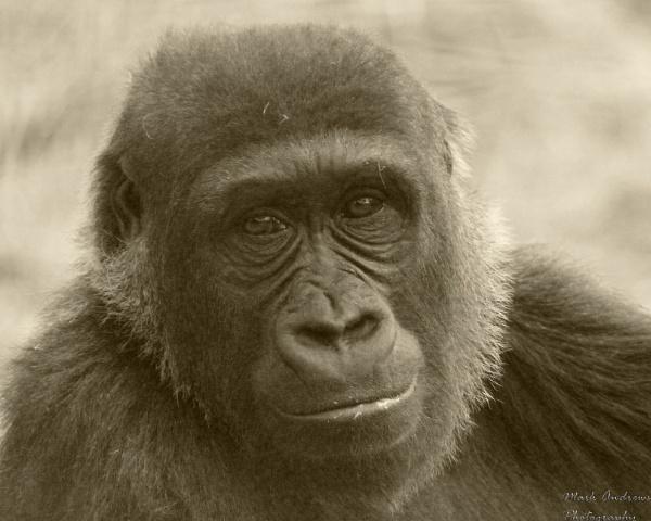 Western Lowland Gorilla by mark1309