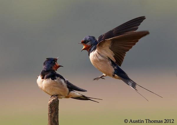 """Swallows \""""Shouting\"""" by Austin_Thomas"""