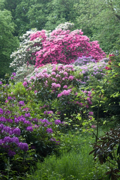 Rhododendron by searlem