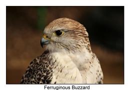 Ferruginous Buzzard