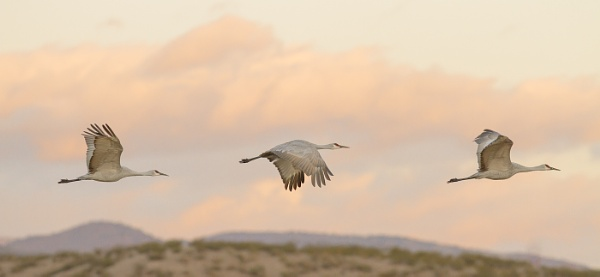 sandhill cranes in flight by davemck