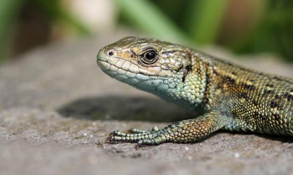 Common Lizard by SurreyHillsMan