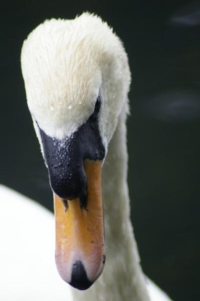 swan @ roathpk by shepp10