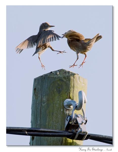 Kung Fu Starlings