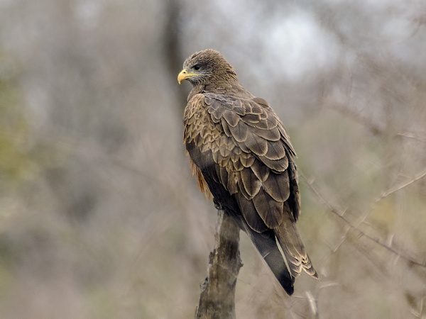 Yellow Billed Kite by Kruger01