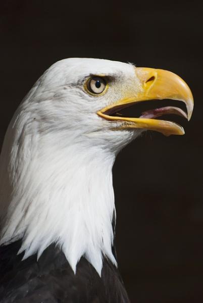 American Eagle by Nhoj