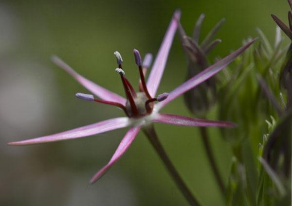 Alium flower by Goggie