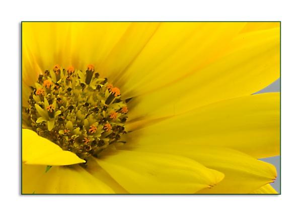 Yellow Osteospurnum by ElaineGregg